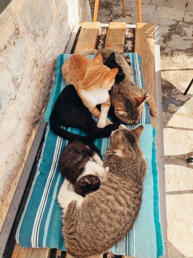 Fem katter vid blue cat cafe i Budva old town, montenegro