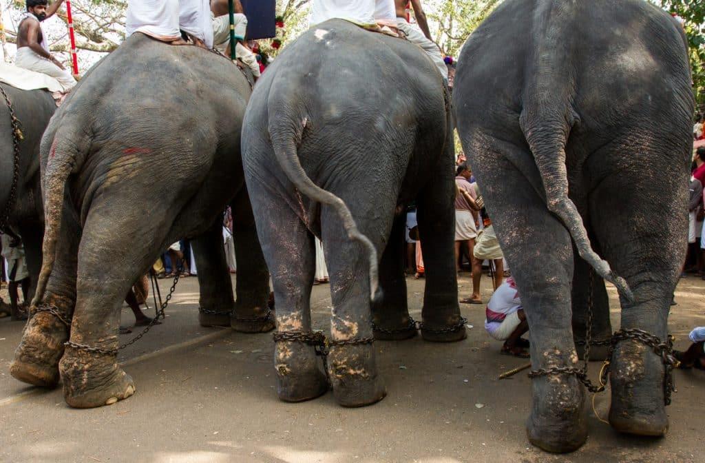 Elefantridning är inte djurvänlig turism