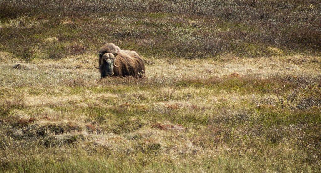 Trondheims sevärdheter myskoxe i dovrefjell nationalpark